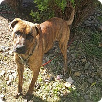 Labrador Retriever/Boxer Mix Dog for adoption in New Middletown, Ohio - Waylon