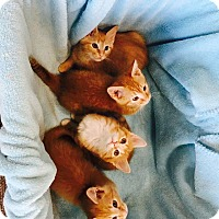 Domestic Shorthair Kitten for adoption in Huntsville, Alabama - Dude