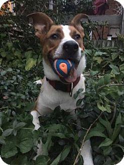 Collie/American Bulldog Mix Puppy for adoption in Cambridge, Ontario - Bowser