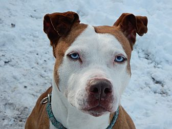 American Staffordshire Terrier Mix Dog for adoption in Long Beach, New York - Lovely Lady