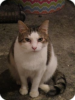 Domestic Shorthair Cat for adoption in St. Louis, Missouri - Emily (Front Declawed)