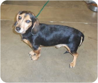 JoJo | Adopted Dog | 35369 | Melbourne, KY | Beagle ...