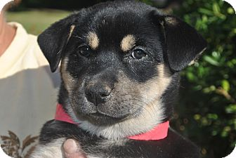 Australian Shepherd/German Shepherd Dog Mix Puppy for adoption in Phoenix, Arizona - Venus