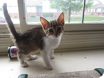 Domestic Shorthair Kitten for adoption in Chesterfield Township, Michigan - Duncan