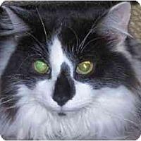 Adopt A Pet :: FLUFFY Benedict - cincinnati, OH
