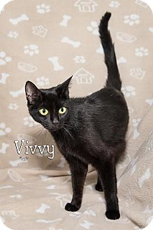 Domestic Shorthair Cat for adoption in Fort Mill, South Carolina - Vivvy 5411m