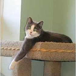 Photo 1 - Domestic Shorthair Cat for adoption in Port Republic, Maryland - Max Parker