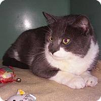 Adopt A Pet :: Indigo - Franklin, NH