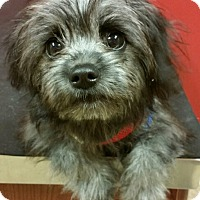 Adopt A Pet :: Shadow - Fairview Heights, IL