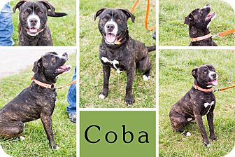 Boxer/Pit Bull Terrier Mix Dog for adoption in Liberty, Indiana - Coba