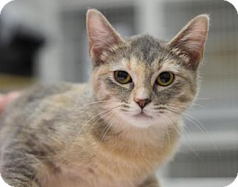 Domestic Shorthair Cat for adoption in DFW Metroplex, Texas - Ruthie