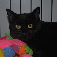 Domestic Shorthair Cat for adoption in Lafayette, New Jersey - Nellie