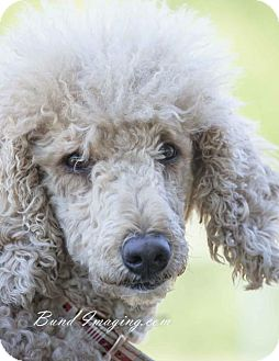 Poodle (Standard) Dog for adoption in Courtice, Ontario - Ella
