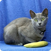 Domestic Shorthair Cat for adoption in Rutherfordton, North Carolina - Alishia