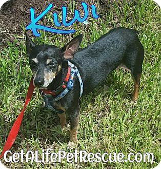 Miniature Pinscher Mix Dog for adoption in Wellington, Florida - Kiwi
