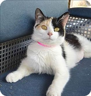 Domestic Shorthair Cat for adoption in Delaware, Ohio - Clementine