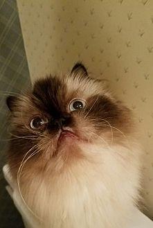 Himalayan Cat for adoption in Columbus, Ohio - Princess Diana