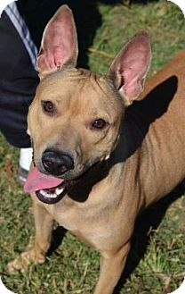 American Pit Bull Terrier Mix Dog for adoption in Ridgeland, South Carolina - Rosy