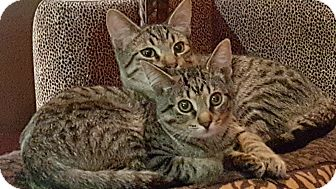 Domestic Shorthair Kitten for adoption in Clarksville, Tennessee - Brother & Sissy