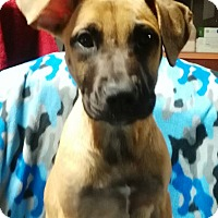 Boxer/Mountain Cur Mix Puppy for adoption in Trenton, New Jersey - Topper