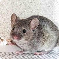 Adopt A Pet :: FUDGE - Denver, CO