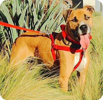 Boxer/Great Dane Mix Dog for adoption in Burbank, California - Handsome Coco-VIDEO
