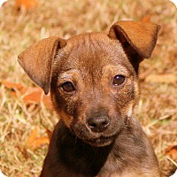Shepherd (Unknown Type)/Beagle Mix Puppy for adoption in Glastonbury, Connecticut - Holly