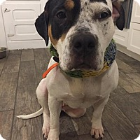 Adopt A Pet :: Shelby  33138381 *IN FOSTER* - Westampton, NJ