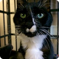 Adopt A Pet :: Kitty Tom - Chestertown, MD