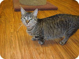 Munchkin Cat for adoption in Medina, Ohio - Minnie