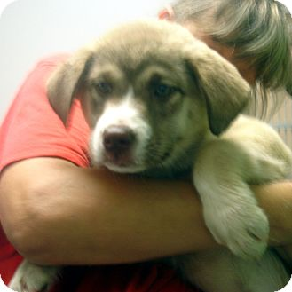 Husky/Shepherd (Unknown Type) Mix Puppy for adoption in baltimore, Maryland - Little Egypt