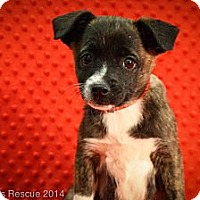Adopt A Pet :: Dahlin' - Broomfield, CO