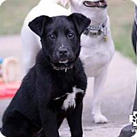 Adopt A Pet :: Meeka - Dearborn, MI