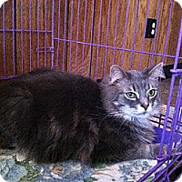 Domestic Longhair Cat for adoption in Jefferson, Ohio - Cody