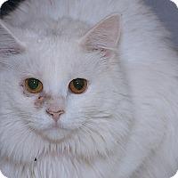 Adopt A Pet :: Marshmallow - Medina, OH