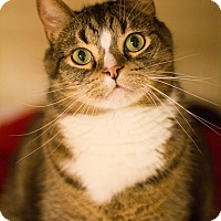 Domestic Shorthair Cat for adoption in Grayslake, Illinois - Hoosier