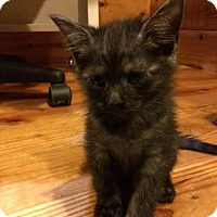 Adopt A Pet :: Timothy black smoke - McDonough, GA