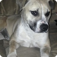 American Bulldog/American Pit Bull Terrier Mix Puppy for adoption in Las Vegas, Nevada - Ava