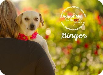 Labrador Retriever/Chihuahua Mix Dog for adoption in Pearland, Texas - Ginger