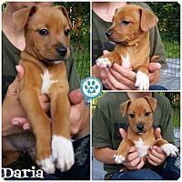 Adopt A Pet :: Daria - Kimberton, PA