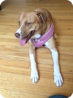 Labrador Retriever/Corgi Mix Dog for adoption in Auburn, Massachusetts - Sandy