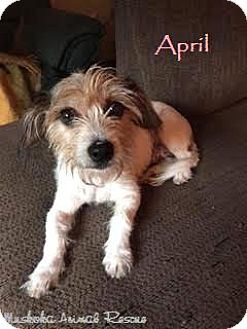 Jack Russell Terrier Mix Dog for adoption in Huntsville, Ontario - April - Adopted October 2016