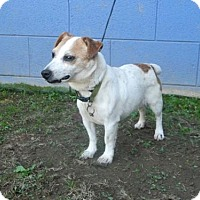 Jack Russell Terrier Dog for adoption in Randleman, North Carolina - Harvey