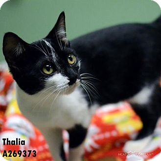 Domestic Mediumhair Cat for adoption in Conroe, Texas - THALIA