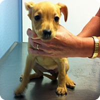 Miniature Pinscher Mix Puppy for adoption in Baltimore, Maryland - Birch