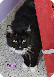 Domestic Mediumhair Cat for adoption in Baton Rouge, Louisiana - Vinny