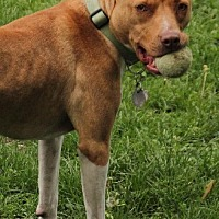 American Pit Bull Terrier Mix Dog for adoption in Edina, Minnesota - Maggie (fka Cinnamon) D122208