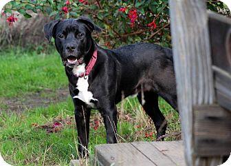 Labrador Retriever/Border Collie Mix Puppy for adoption in McKinleyville, California - Pilot