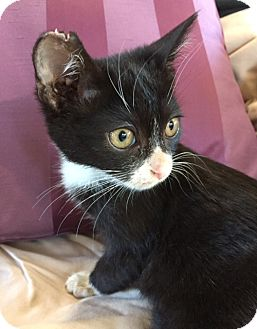 American Shorthair Kitten for adoption in BONITA, California - Guy