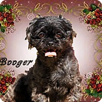 Shih Tzu Dog for adoption in Marion, North Carolina - Booger
